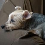 犬の熱中症対策で最適な室内温度と留守番中に停電した時の対策は?