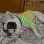 犬の夏バテ対策で最適な食事は?熱中症との違いは?嘔吐した場合は?